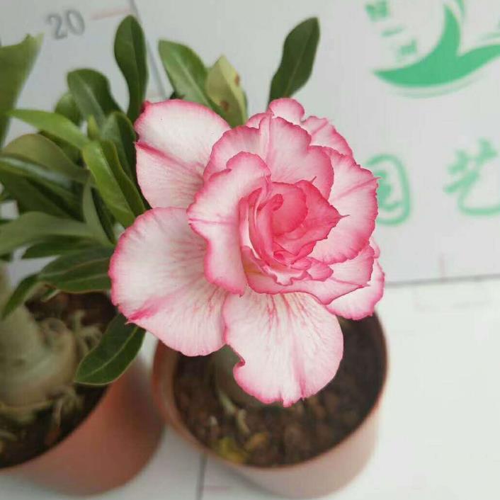供应 沙漠玫瑰 盆栽花卉