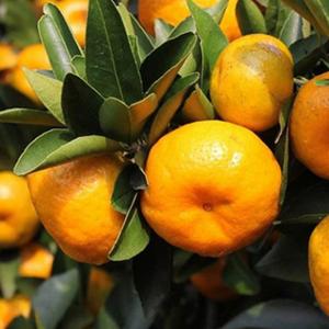 供应3斤礼盒装 南丰蜜桔 江西小贡桔美味可口 新鲜水果橘子